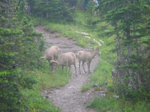 Bighorn sheep on trail