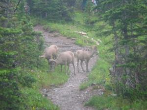 Bighorn sheep on trail