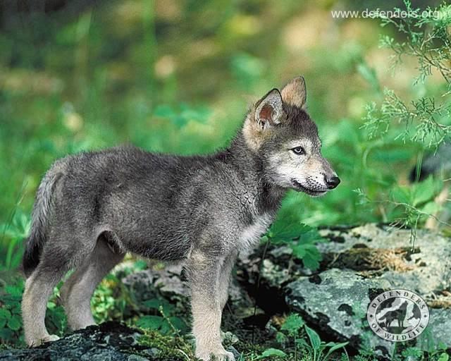 wolf_pup_big
