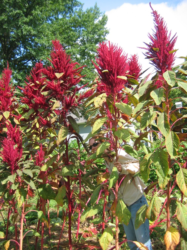 Towering amaranth